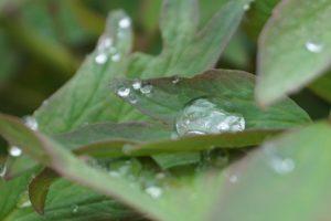Tautropfen, Glück aus Grünem, Ulrike Plaichinger, Räuchern, Haunsberg, Kräuterwanderungen, Gartengestaltung