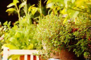 Gartenkräuter und essbare Wildkräuter, Glück aus Grünem, Ulrike Plaichinger, Räuchern, Haunsberg, Kräuterwanderungen, Gartengestaltung