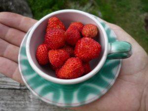 Die eigenen Erdbeeren, Glück aus Grünem, Ulrike Plaichinger, Räuchern, Haunsberg, Kräuterwanderungen, Gartengestaltung