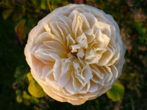 Rosengarten, Glück aus Grünem, Ulrike Plaichinger, Räuchern, Haunsberg, Kräuterwanderungen, Gartengestaltung
